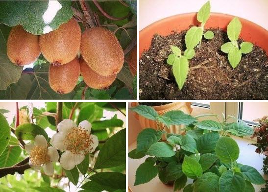 Выращиваем киви фото