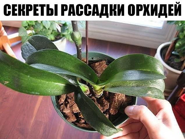 Секреты рассадки орхидей: как превратить одно растение в 100.