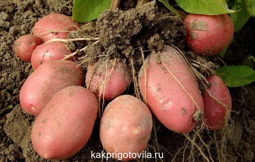 9 советов по выращиванию картофеля