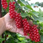 Собираем урожай смородины и малиныв десять раз больше