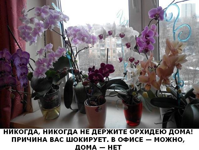 nikogda-ne-derjite-orhideiu-doma-foto