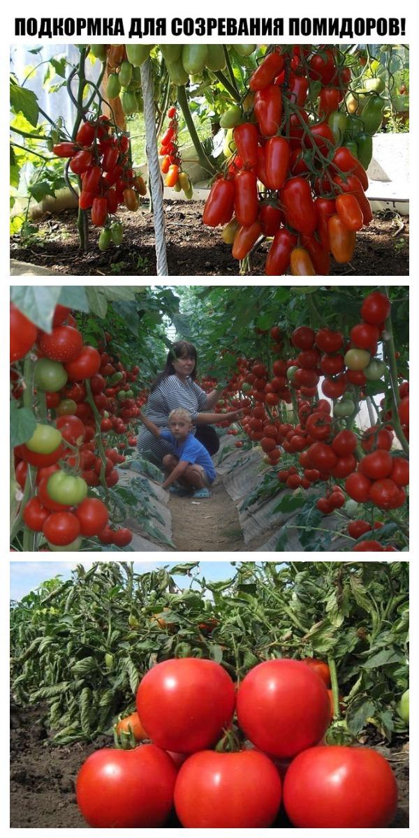 Уникальная подкормка для созревания помидоров!