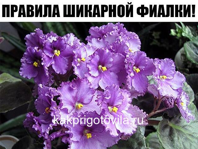 ПРАВИЛА ШИКАРНОЙ ФИАЛКИ!