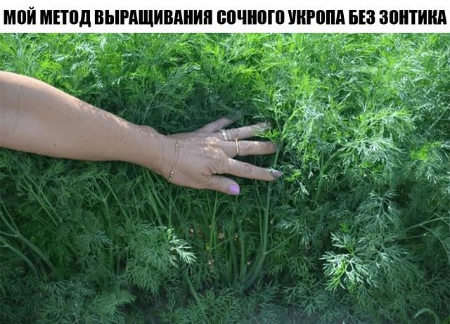 Мой метод выращивания сочного укропа без зонтика