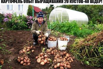 КАРТОФЕЛЬ ОПЫТ ВЫРАЩИВАНИЯ 20 КУСТОВ-40 ВЁДЕР!!!
