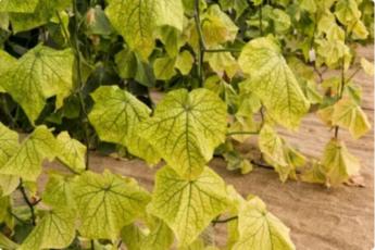 Подкормка, которая спасет любое желтеющее овощное растение.