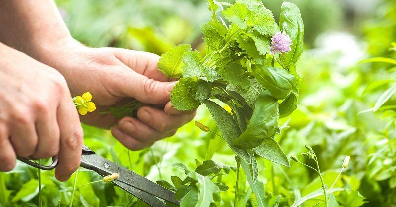 gathering-fresh-herbs-in-the-garden