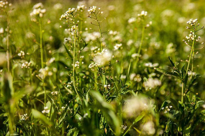 meadow-with-shepherd-s-purse-flowers