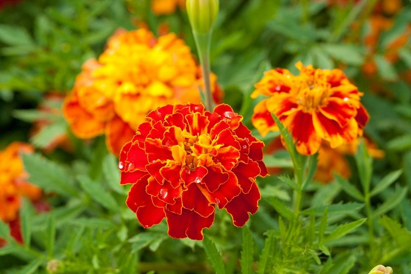 marigold-close-up-with-water-drops