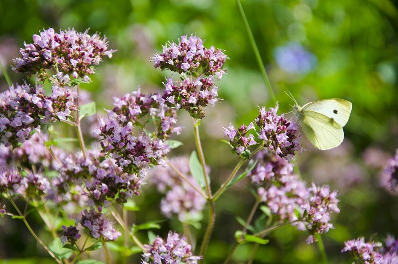 wild-marjoram-blossoms-in-garden-and-butterfly