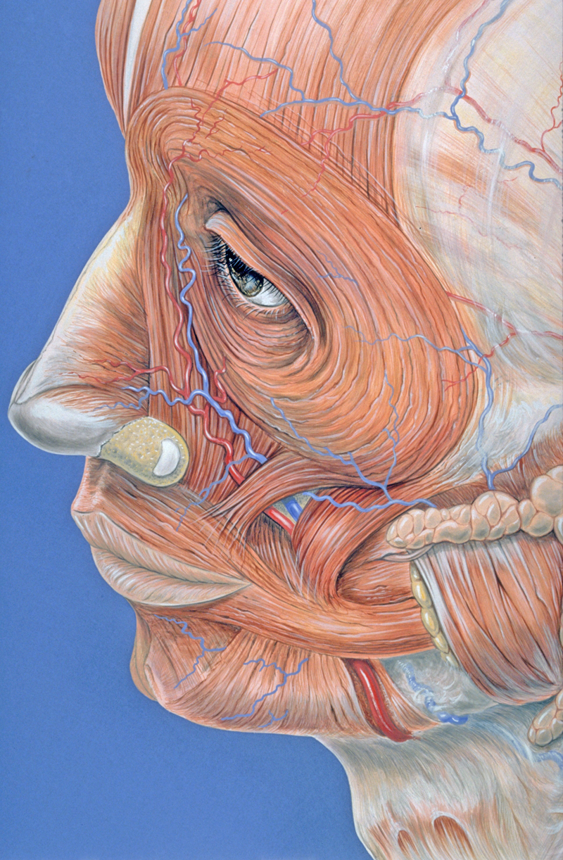 content_facial_muscles-1