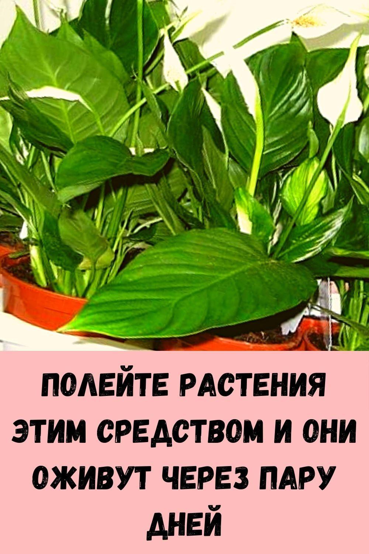imbirnaya-voda-glavnyy-vrag-zhira-na-bedrah-i-zhivote_-kak-ee-pravilno-prigotovit-1