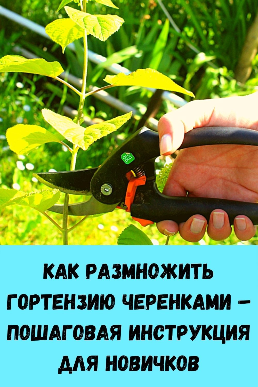kak-razmnozhit-gortenziyu-cherenkami-poshagovaya-instruktsiya-dlya-novichkov
