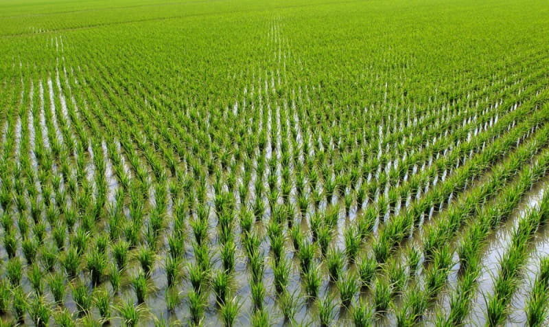 chinese-rice-paddies-2
