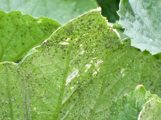 cucumber-leaves-11-640x480-1