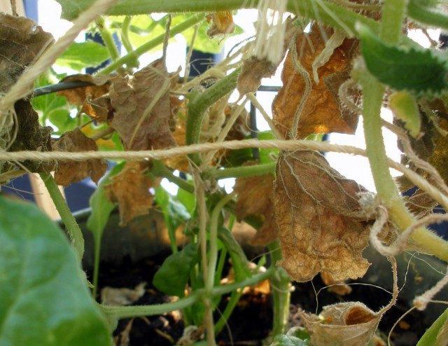 cucumber-leaves-2-640x494-1