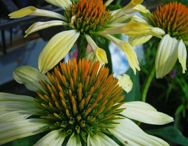 echinacea-1-03-640x499-1