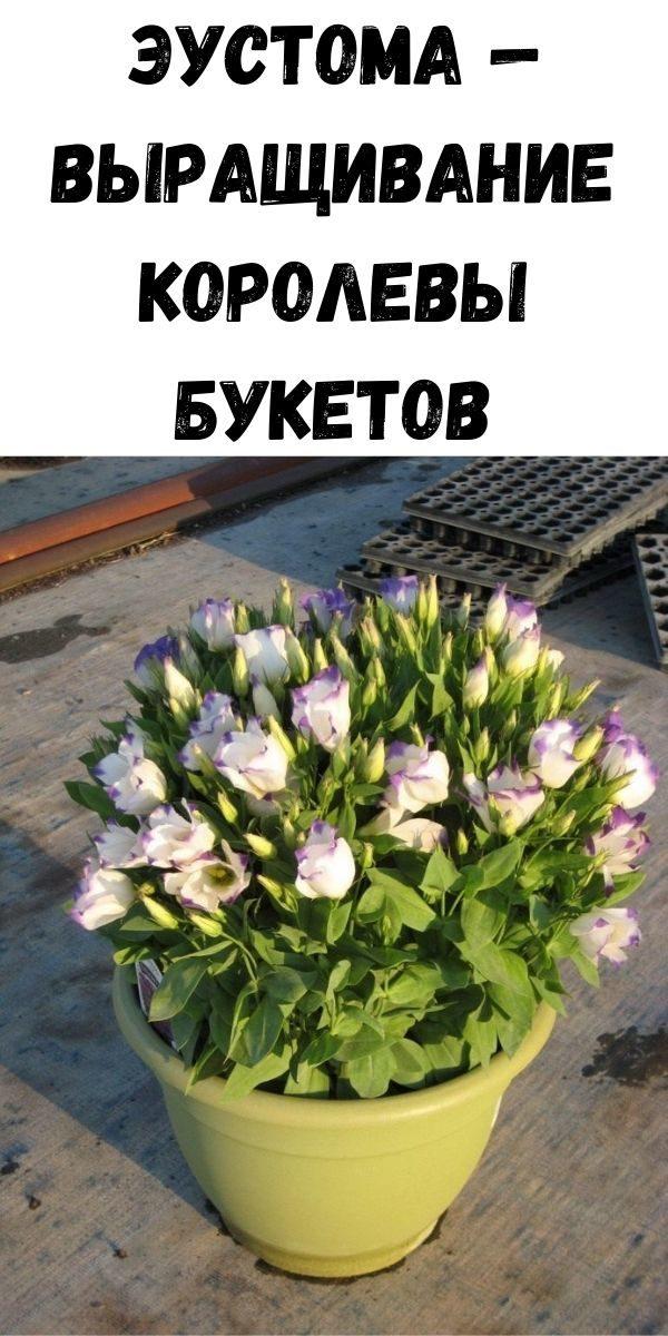 eustoma-vyraschivanie-korolevy-buketov-2