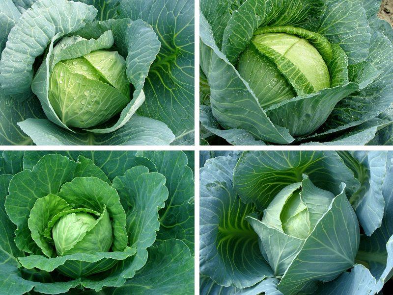 cabbages-set