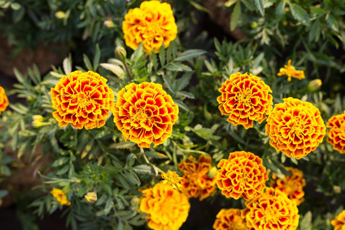 marigolds-flowers