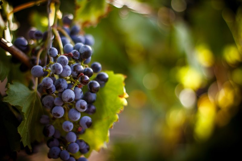 large-bunche-of-red-wine-grapes-hang-from-a-vine-warm-ripe-gra