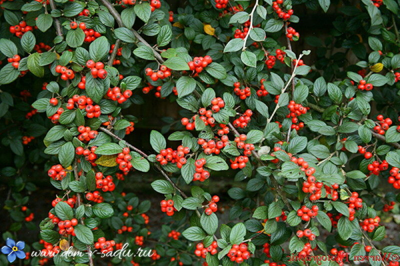 cotoneaster-cotoneaster-franchettii-berries-in-october
