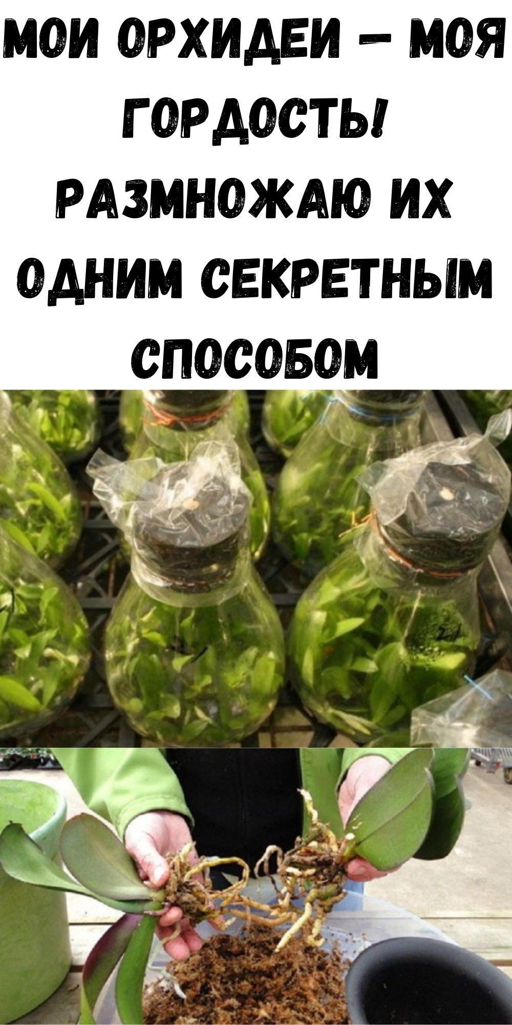moi-orhidei-moya-gordost-razmnozhayu-ih-odnim-sekretnym-sposobom-2