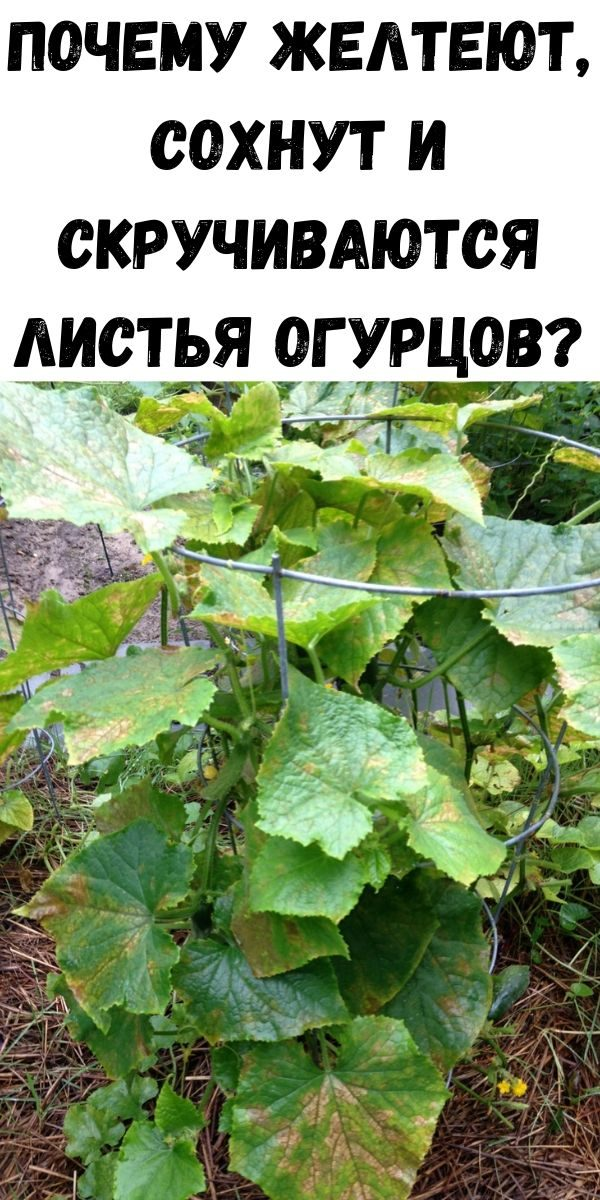 pochemu-zhelteyut-sohnut-i-skruchivayutsya-listya-ogurtsov-2
