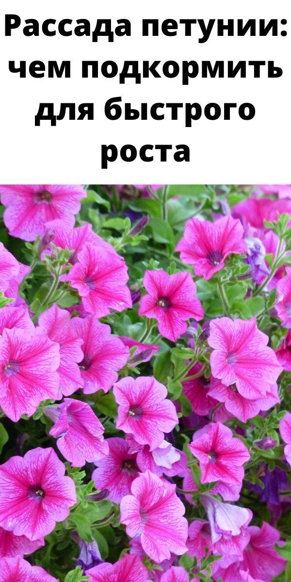 rassada-petunii-chem-podkormit-dlya-bystrogo-rosta-i-pravilnogo-razvitiya-rasteniy-2