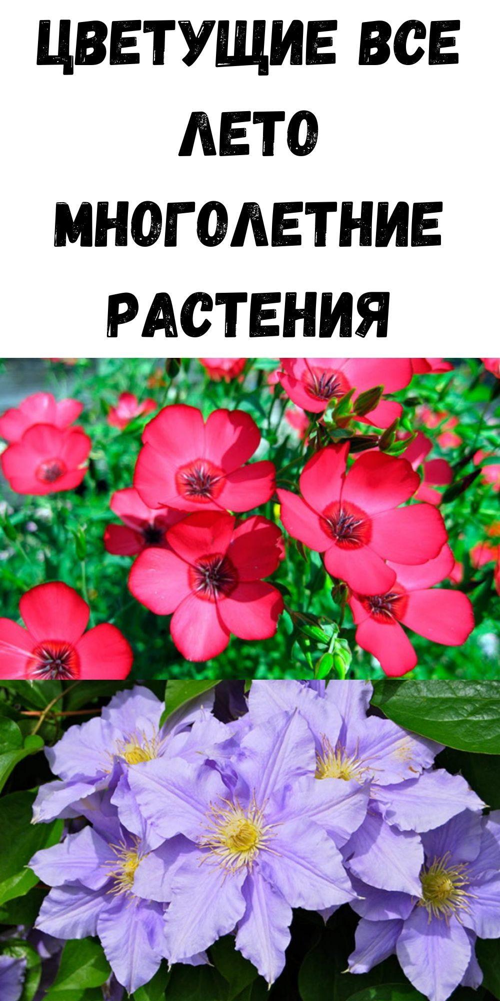 tsvetuschie-vse-leto-mnogoletnie-rasteniya-2